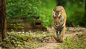 Kanha National Park, a central India forest, is not for its lush green cover and a decent population of tigers. This young male has been clicked in the same park.