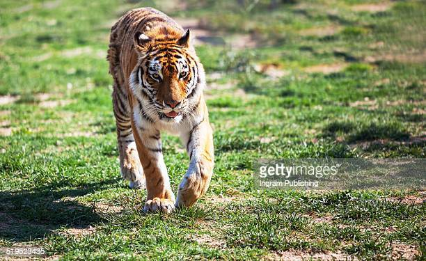 Tiger walking on land