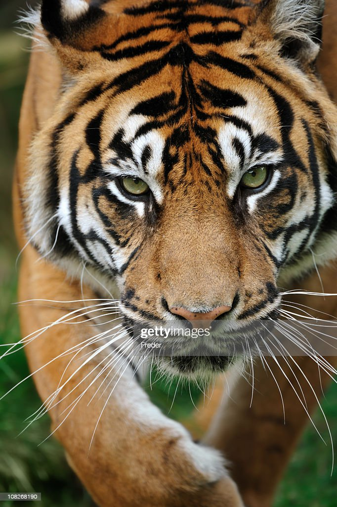 approaching tiger : Stock Photo