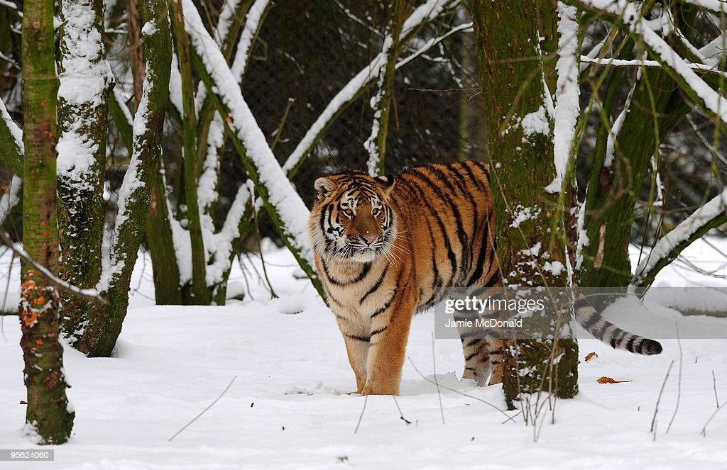 A Tiger walks in the snow at Banham Zoo on January 7, 2010 in Norfolk, United Kingdom. The MET Office has put in place severe weather warnings for much of Britain today as heavy snowfall sweeps across southern counties from Scotland and the north of England. It is predicted that the freezing conditions will bring Britain's heaviest snowfall for 23 years with some areas of southern England estimated to receive up to 40cm of snow. on January 7, 2010 in Norfolk, United Kingdom.