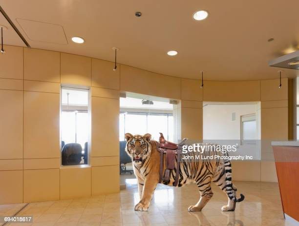 Tiger wearing saddle in office