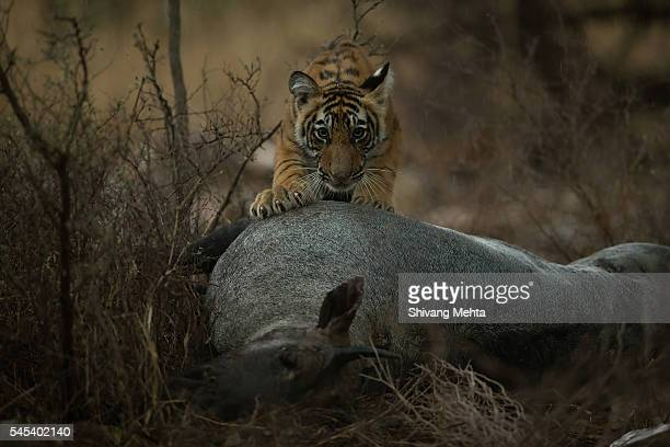 Tiger with blue bull kill