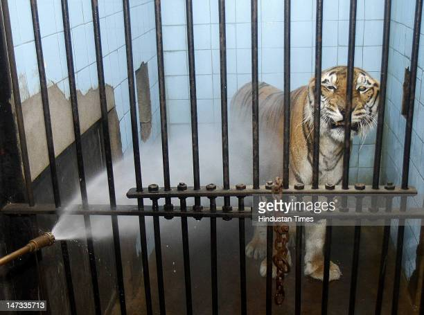 Tigers are given water showers in the enclosure at Delhi Zoo to give some respite from heat for the Birds and Animals on June 25 2012 in New Delhi...
