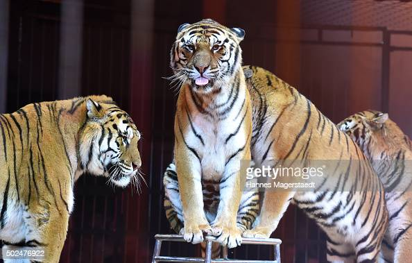 Tigers during the 'Circus Krone Christmas Show 2015' at Circus Krone on December 25 2015 in Munich Germany