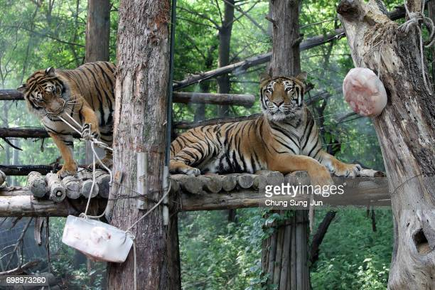 Tigers enjoy special icy chicken given by zoo keepers during the summer season to get by the heat at the Everland Amusement Park on June 21 2017 in...