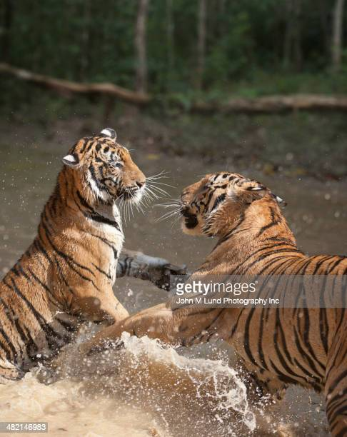 Tigers fighting in water