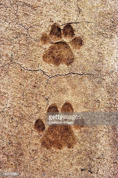 Tiger'S Pug Mark At Bandipur Wild Life Sanctuary Karnataka India