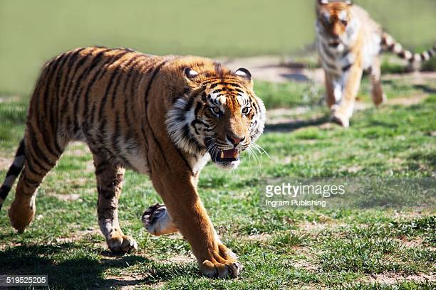 Tigers running in national park