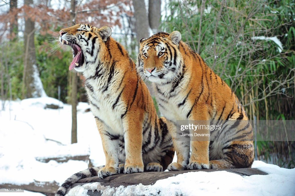 Tigers seen at the Bronx Zoo after a snow storm on January 21, 2012 in the Bronx borough of New York City.