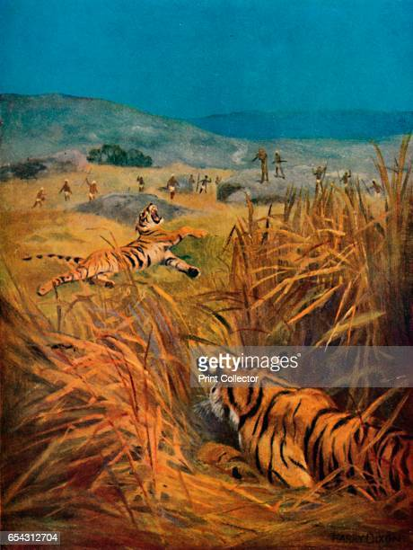 Tigers The Terror of Indian Villages 1913 From The Gorgeous East by Frank Elias [Adam and Charles Black London 1913] Artist Harry Dixon