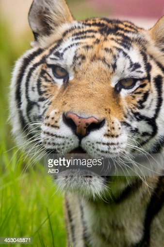 Tigre De Bengala Stock Photo | Getty Images
