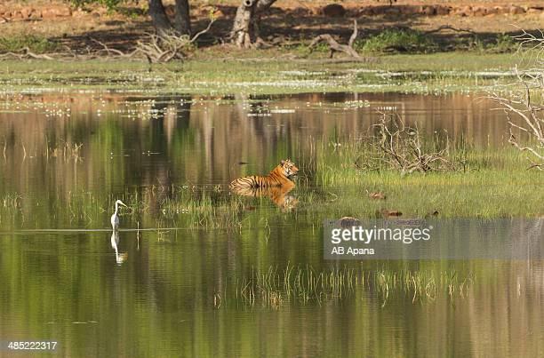 Tigress and Egret
