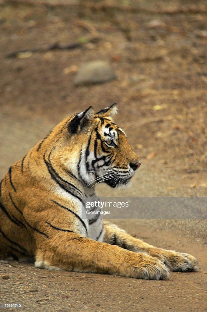 Tigress (Panthera tigris) sitting on the dirt road, Ranthambore National Park, Rajasthan, India : Foto de stock