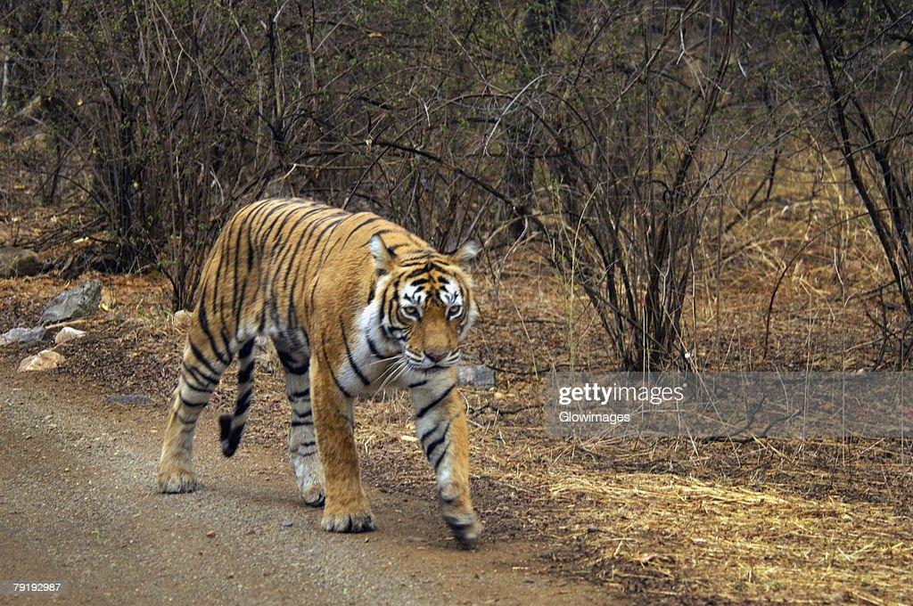 Tigress (Panthera tigris) walking on the dirt road, Ranthambore National Park, Rajasthan, India : Stock Photo