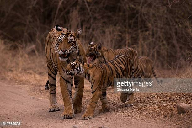 Tigress with cub in Ranthambhore