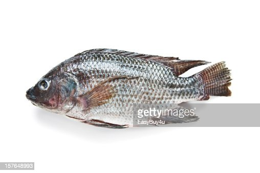 Tilapia fish stock photo getty images for What kind of fish is tilapia