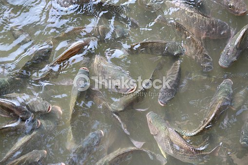 Tilapia Fish swimming in a pond. : Stock Photo