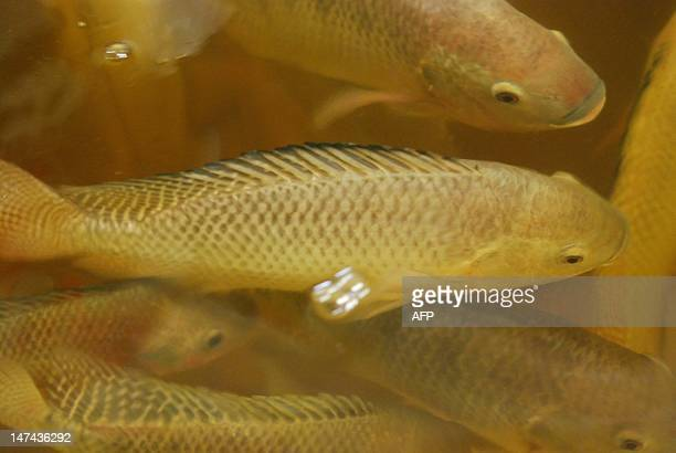 Images Of Tilapia Fish Stock Photos And Pictures Getty