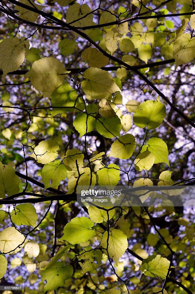 Tilia cordata 'Small-leaved Lime'