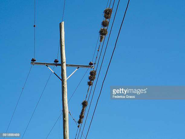 Tillandsia Epiphytic Plants growing on Power lines