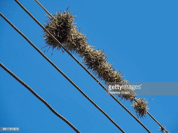 Tillandsia plants growing on power lines