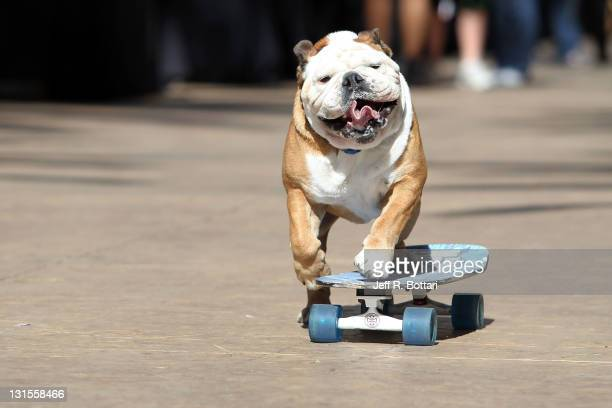 Tillman the skateboarding dog arrives at the third annual Stand Up for Skateparks benefit at the Red Rock Casino to support the Tony Hawk...