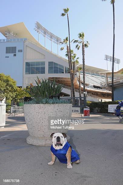 Tillman the Skateboarding Dog attends the 'Bark In The Park' event for Dodgers fans and their dogs at Dodger Stadium on May 11 2013 in Los Angeles...