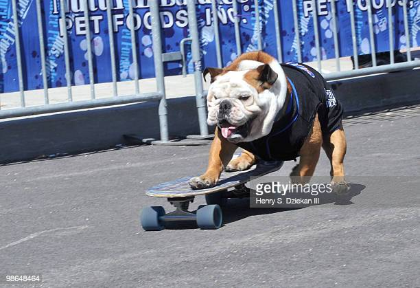 Tillman The Skateboarding Dog attends the New York Mets Host 'Bark in the Park' to benefit the North Shore Animal League America at Citi Field on...