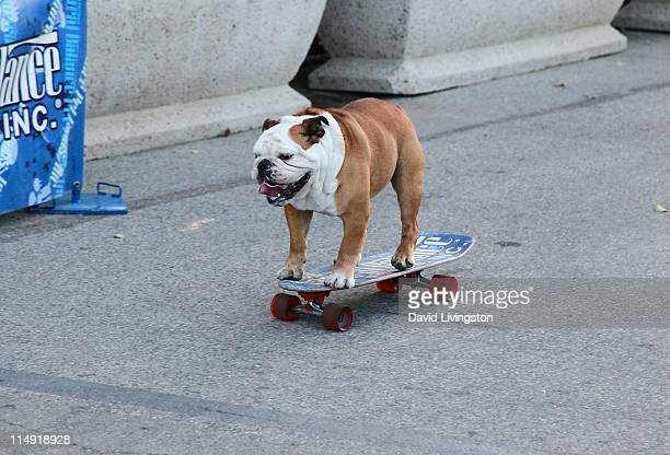 Tillman the Skateboarding Dog performs at the 2nd annual Bark in the Park at Dodgers' Stadium on May 28 2011 in Los Angeles California