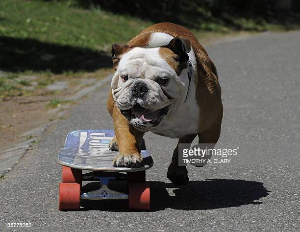 "Tillman the world's fastest skateboarding canine gets in some practice as he runs in Central Park April 23 2010 before competing at ""Bark in the..."