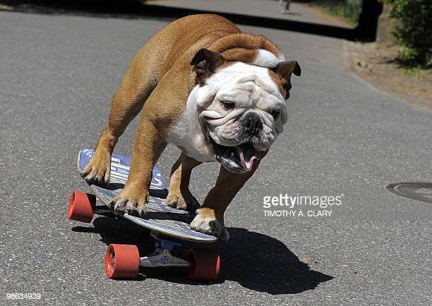 Tillman the world�s fastest skateboarding canine gets in some practice runs in Central Park April 23 2010 in New York before he competes at �Bark in...
