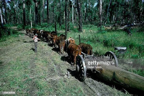 Timber being transported by Bullock Team, Corindi, NSW