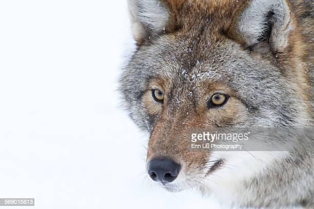 Timber Wolf close up
