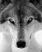Face of a timber wolf