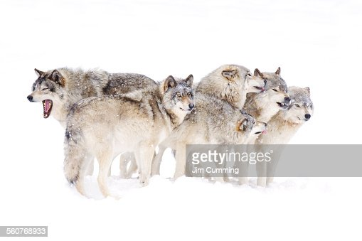 Timber wolf family