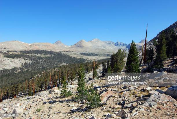 Timberline Foxtail pine forest