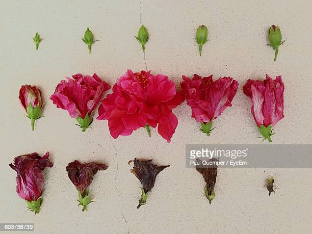 Time Lapse Of Hibiscus Flower