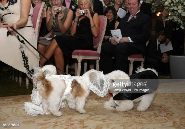 Timmy the Bichon Frise and Muffin the Shih Tzu kiss during their unique dog wedding as part of the stores 'Anything is Possible' season