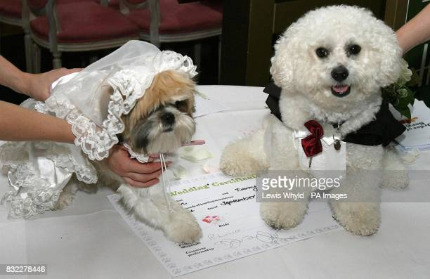Timmy the Bichon Frise and Muffin the Shih Tzu leave Harrods in a horse drawn carriage after their unique dog wedding as part of the stores 'Anything...