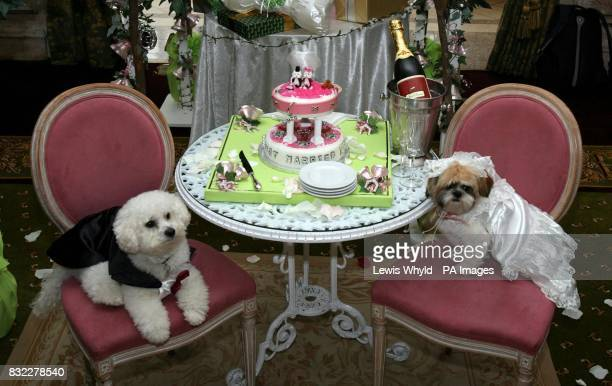 Timmy the Bichon Frise and Muffin the Shih Tzu with their cake after their unique dog wedding as part of the stores 'Anything is Possible' season