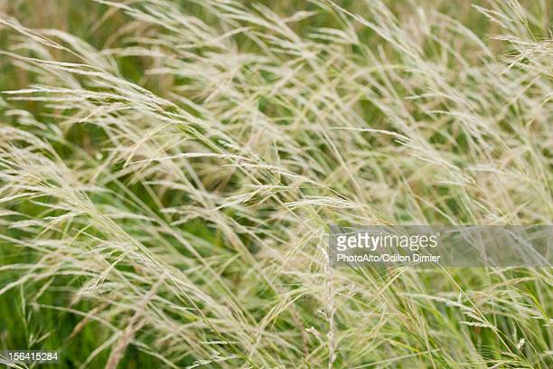 Timothy grass, full frame