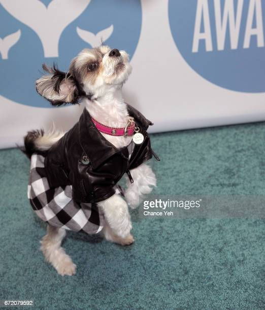 Tinkerbelle the Dog attends 9th Annual Shorty Awards at PlayStation Theater on April 23 2017 in New York City