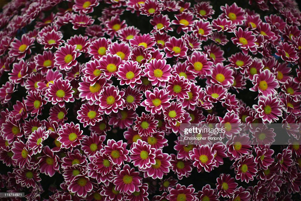 Tinman a variety of Chrysanthemums on show at the Chelsea Flower Show on May 26 2011 in London England The Royal Horticultural Society flagship...
