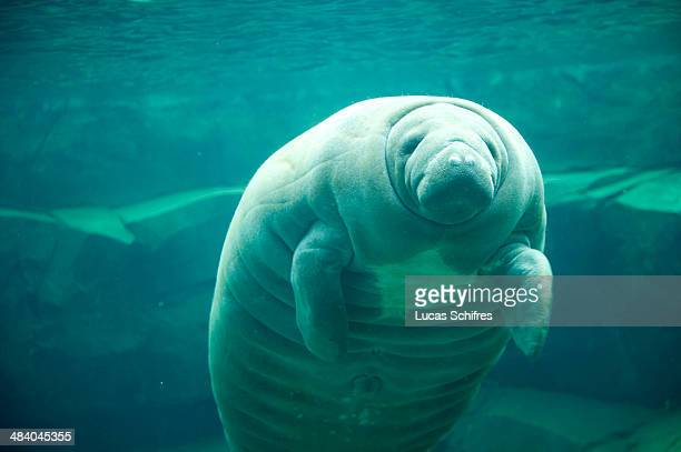 Tinus the manatee at the Zoological Park of Paris on April 8 2014 in Paris France After 6 years of closing time and a complete ⬠167million...