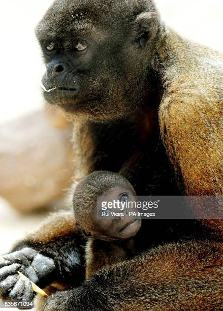 Tiny baby woolly monkey Branco pictured clinging on to his mother at Twycross Zoo East Midlands