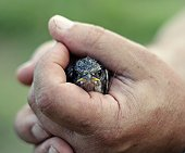 Tiny bird being held in mans hand