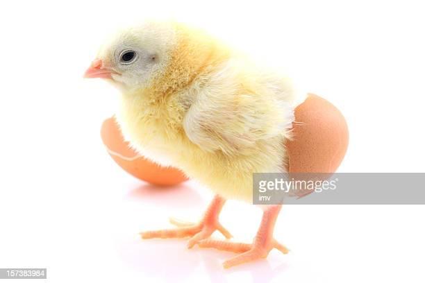 Kleine chick auf Weiß