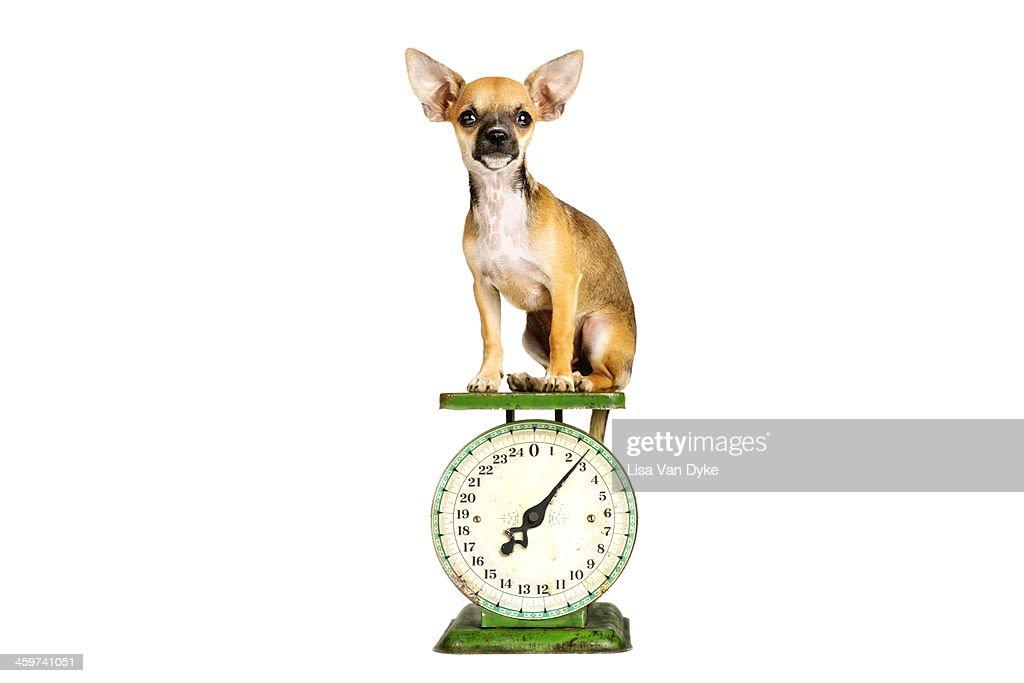 Tiny Dog Sitting on Scale