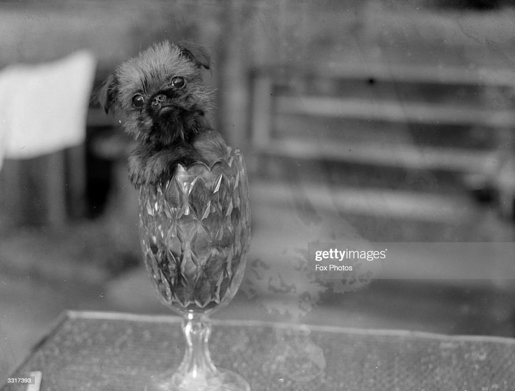 A tiny griffon Bruxellois dog manages to fit comfortably into a small vase In spite of its size they are traditionally bred to catch rats