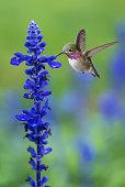 Tiny hummingbird over blurred green summer background
